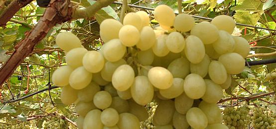 Supernatural genuine natured - Calorie uva bianca da tavola ...